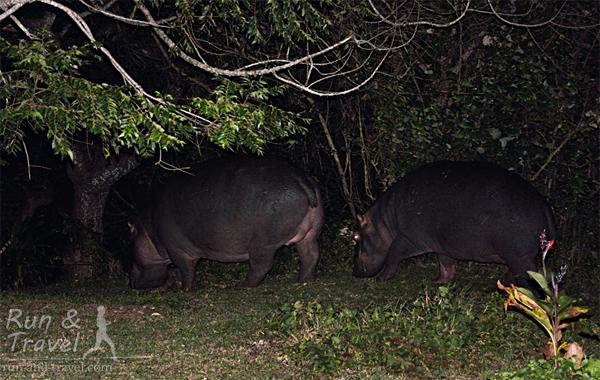 Бегемотье семейство пасется на газоне
