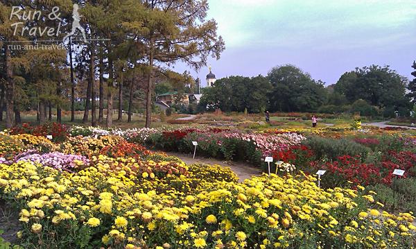 Цветут хризантемы и георгины