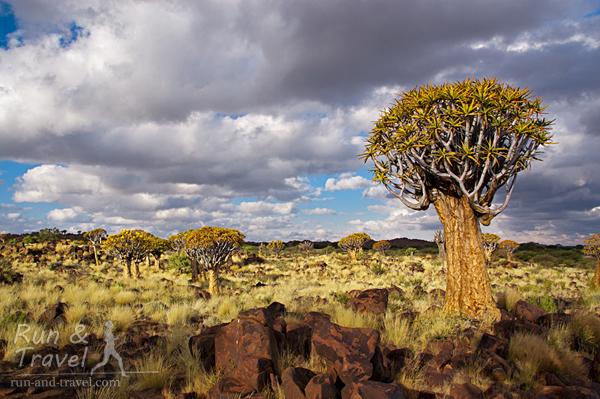 Роща колчанных деревьев - Quiver tree forest