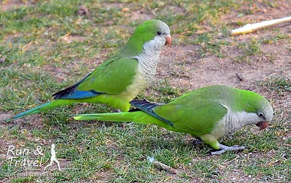 Те самые попугаи, что-то вроде наших воробьев