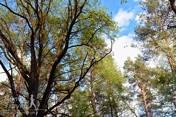 В лесу - сосны и лиственные деревья