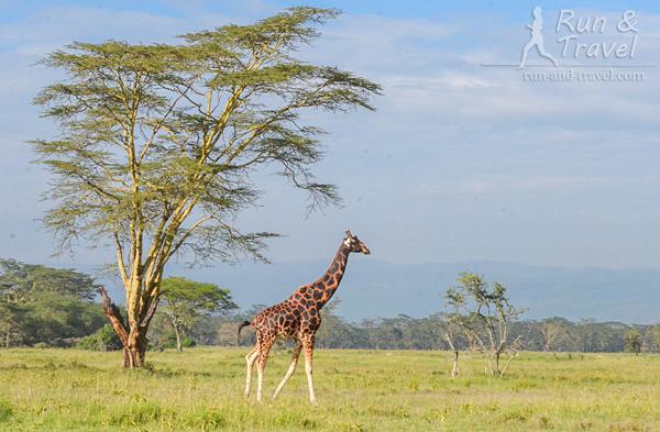 Жираф Ротшильда (или угандийский) в нацпарке Накуру