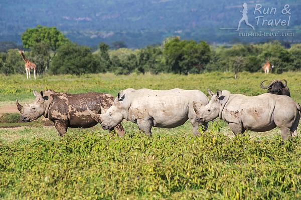 Одна из «фишек» Накуру – большое поголовье белых и черных носорогов. Это белые (отличаются они не цветом – на самом деле, все серые)
