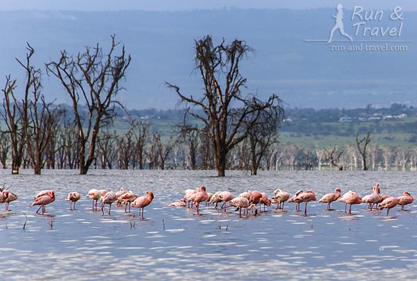 Фламинго на соленом озере Накуру. Их бывает намного больше: зависит от «урожая» рачков, которыми питаются фламинго