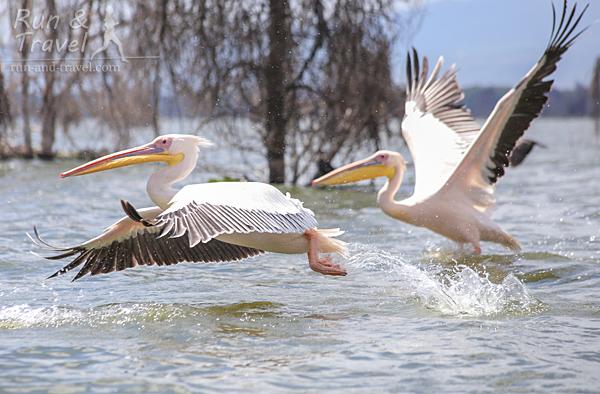 Пеликаны на озере Найваша