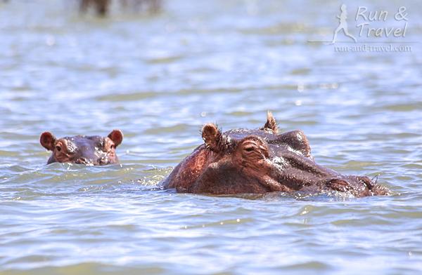 Бегемоты на озере Найваша. Плавали на лодке, все выжили, несмотря на любовь бегемотов к переворачиванию плавсредств