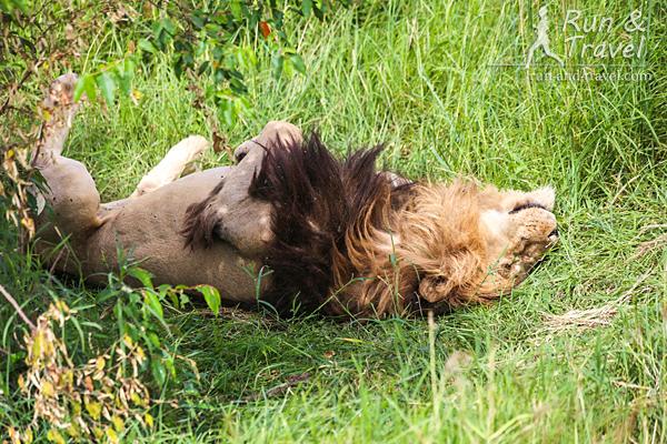 Львы умеют расслабляться. Масаи Мара