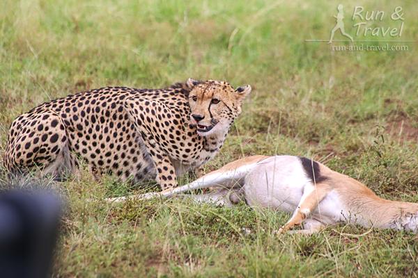 Гепард со свежепойманной добычей в Масаи Мара. В первые полчаса ее могут легко отобрать гиены или другие хищники: после спринта гепарду нужно время на восстановление