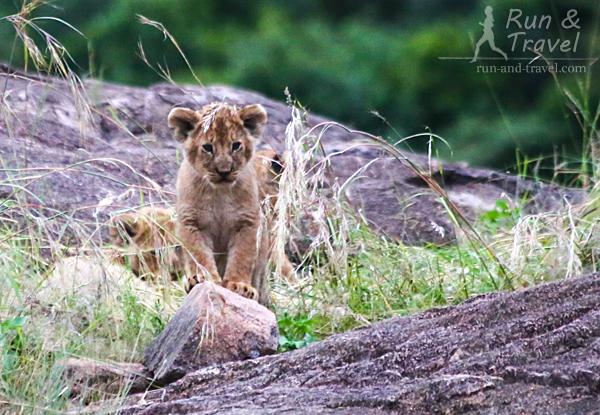 Очаровашка. Пару раз наблюдали за этими тремя львятами. За ними всегда присматривали 2-3 львицы