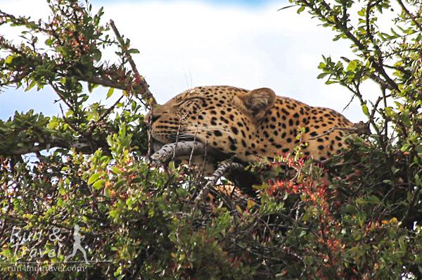 Среди больших кошек леопарда увидеть сложнее всего. Этот товарищ дрых на верхушке дерева. Масаи Мара