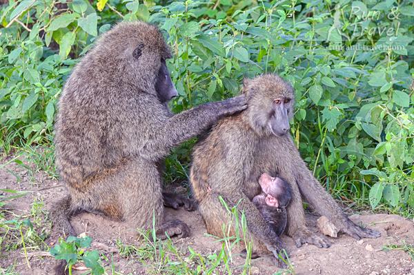 Семейная жизнь бабуинов