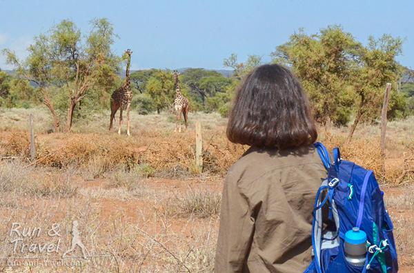 Жирафы и условный забор