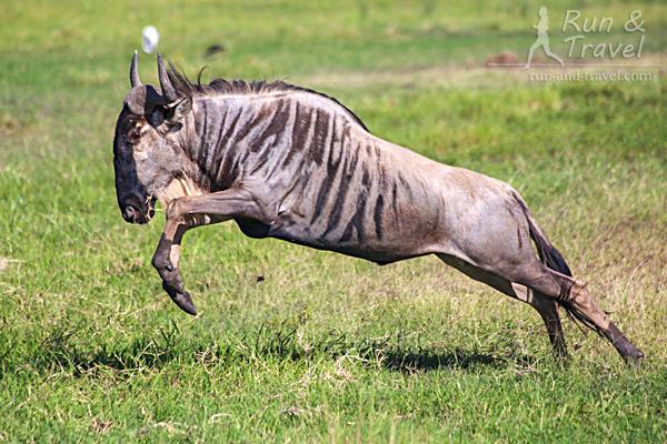 СБУ «олени» в исполнении антилопы гну