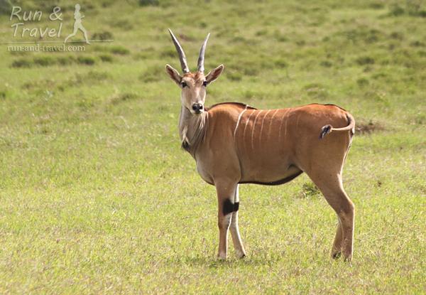 Антилопа Эланда ближе всего к корове. На шее у нее складка, чтобы хищнику было сложнее перекусить горло – у всех свои методы