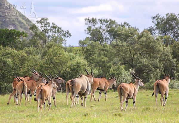 Убегающие антилопы Эланда
