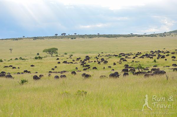 Стада буйволов