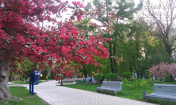 Цветущий парк Шевченко в конце апреля