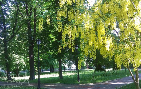 Цветут не только каштаны, но и другие кустики-деревья
