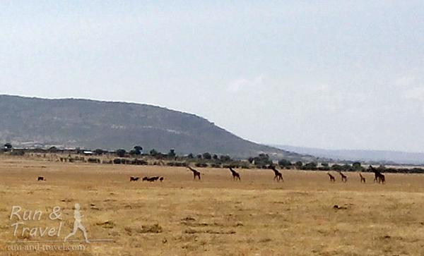Антилоп гну теперь видно ближе, а вот и семейство жирафов